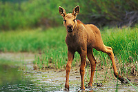 Young Moose calf (Alces alces) standing in the mud along pond edge.  June, Western U.S.