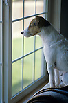 Jack Russell Terrier with alert expression on face looking out living room window