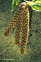 TT13-017d  White Birch - paper birch, catkins releasing pollen - Betula spp.