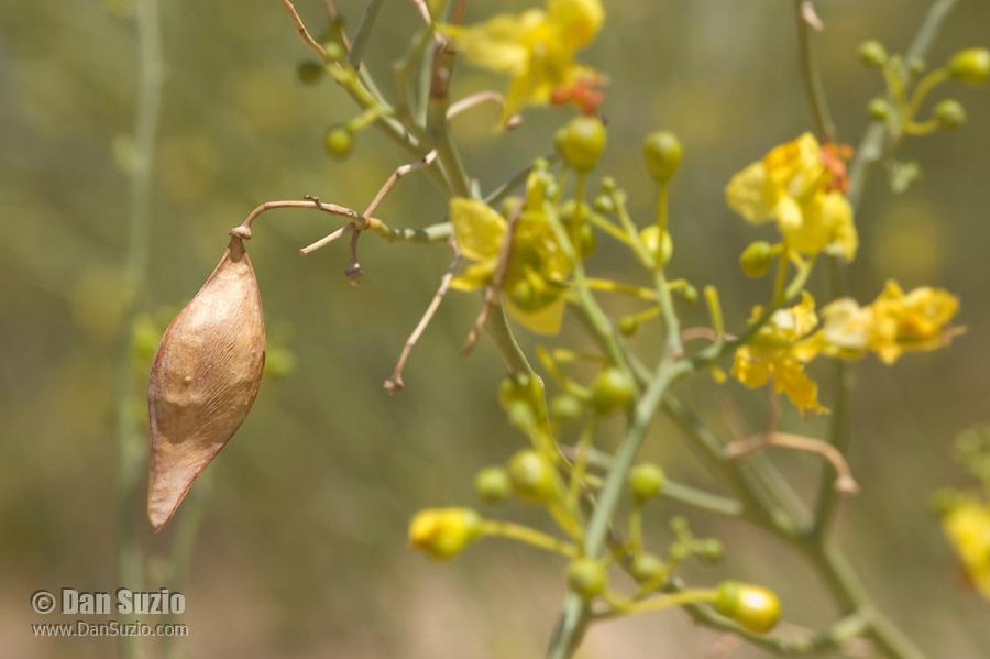 Seed pod of blue palo verde, Cercidium floridum, Algodones Dunes, Imperial County, California