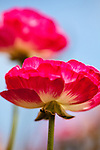 Close-up of red ranunculus flower with another red flower in the background