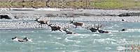 A line of Caribou crosses the Kongakut River, in Alaska's Arctic National Wildlife Refuge.