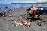 fishermen butcher blue sharks, Prionace glauca, Mexican shark fishery, Isla Magdalena, Baja, Mexico, Pacific Ocean
