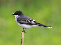 Adult eastern kingbird