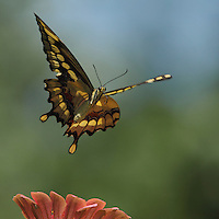 Giant Texas Swallowtail lifting up, up, and away..