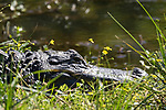 Brazoria County, Damon, Texas; the head of a large, adult alligator, sunning itself for warmth along the grassy bank of the slough, in early morning sunlight