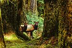 Roosevelt elk, Olympic National Park, Washington