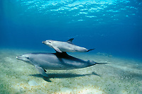 Indo-Pacific bottlenose dolphin, Tursiops aduncus, mother and calf, Nuweiba, Egypt, Red Sea, Indian Ocean