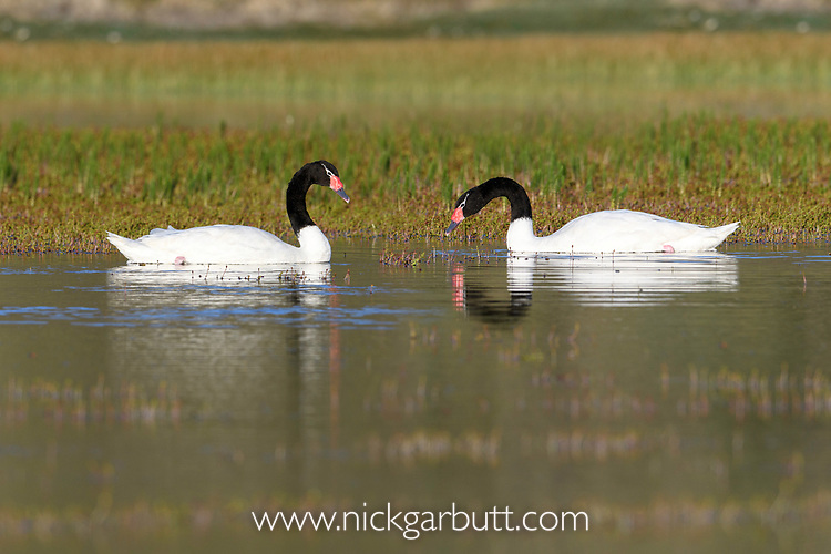 Pair of black-necked swans (Cygnus melancoryphus) on upland lake. Torres del Paine National Park, Patagonia, Chile.