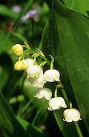 Maiglöckchen, Convallaria majalis, Lily-of-the-Valley