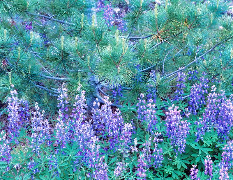 Lupine and pine tree. North Cascades National Park. Washington.