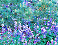 Lupine and pine tree. North Cascades National Park. Washington.