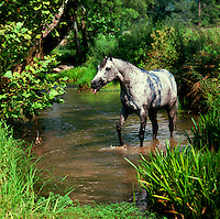 Arabian mare drinks from stream....