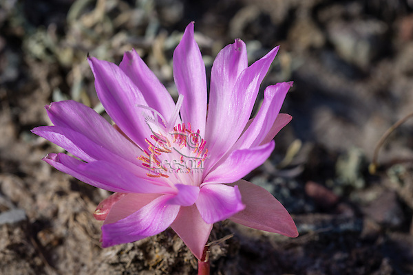 Bitterroot (Lewisia rediviva) is a small perennial herb which typically grows in dry rocky or gravelly soils in Western U.S. grasslands.  June.