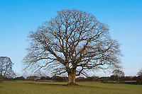 Oak tree in parkland, Chipping, Lancashire in winter.
