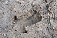 Wildschwein, Wild-Schwein, Schwarzwild, Spur, Trittsiegel, Fußabdruck, Fußspur im Schlamm, Sus scrofa, wild boar, pig