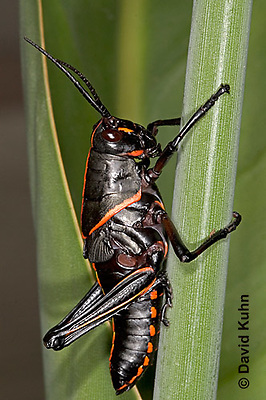 "0721-07pp  Eastern Lubber Grasshopper - Romalea guttata ""Nymph"" © David Kuhn/Dwight Kuhn Photography"