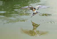 Barn Swallow (Hirundo rustica), adult bathing in pond, Dinero, Lake Corpus Christi, South Texas, USA