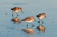Western Sandpipers (Calidris mauri).  Breeding plumage, spring migration.  Looking for food.  Pacific Northwest ocean beach.  April.