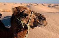 Kamel bei Douz, Tunesien