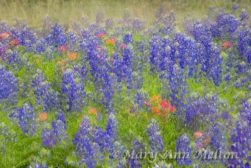 Photography based, Fine Art Image of Texas Bluebonnets