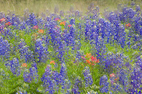 Photography based, Fine Art Image of Texas Bluebonnets
