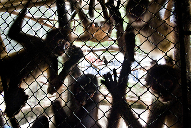 Guatemala, Petén, Mayan Biosphere Reserve, Confiscated spider monkeys at ARCAS rehabilitation Center next to the Mayan Biosphere Reserve. Spider monkeys have to stay up to 6 years and build a strong social group until they can be released in the wild.