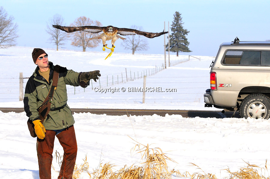 00432-029.03 Falconry:  Falconer cast red-tailed hawk during winter hunt.