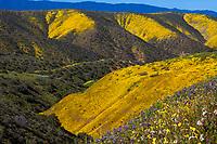 California hillsides wildflower superbloom with Monolopia lanceolata Hillside Daisy 2017 - Carrizo Plain National Monument,