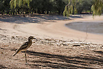 Beach stone-curlew (Esacus magnirostris) also known as beach thick-knee is a large, ground-dwelling bird that occurs in Australasia the islands of South-east Asia. At 55 cm and 1 kg, it is one of the world's largest shorebirds.