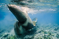 nurse sharks, Ginglymostoma cirratum, mating pair, female arching behavior, Florida Keys, Florida, Atlantic Ocean