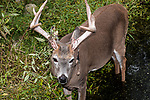 White-tailed Deer buck standing in aquatic vegetation near edge of pond.  Velvet is seen hanging from antlers during the beginning of breeding season