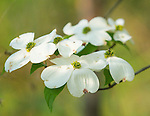 Flowering Dogwood tree in bloom
