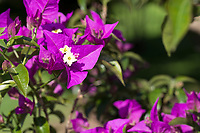 Drillingsblume, Bougainvillea, Bougainville, Bougainvillee, Bougainvillie, Bougainvillea spectabilis, Bougainvillea peruviana, Bougainvillea speciosa, Bougainvillea bracteata, Bougainvillea brasiliensis, great bougainvillea, Wunderblumengewächse, Nyctaginaceae, bougainvillées
