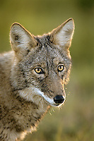 Coyote (Canis latrans).  Upper Great Lakes region. Fall.