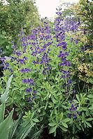 Native American wildflower Baptisia australis in bloom - Blue false indigo, dye plant