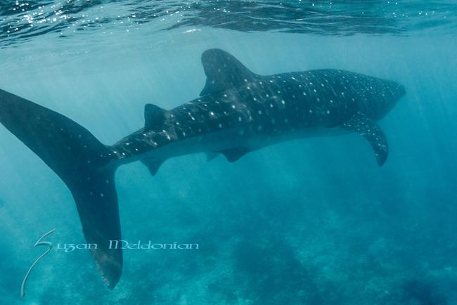 Whale Shark, Maldives