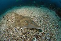 Eastern or Long-snouted Shovelnose Ray, Aptychotrema rostrata, Endemic, Shag Rock, Moreton Bay Marine Park, Brisbane, Queensland, Australia, South Pacific Ocean