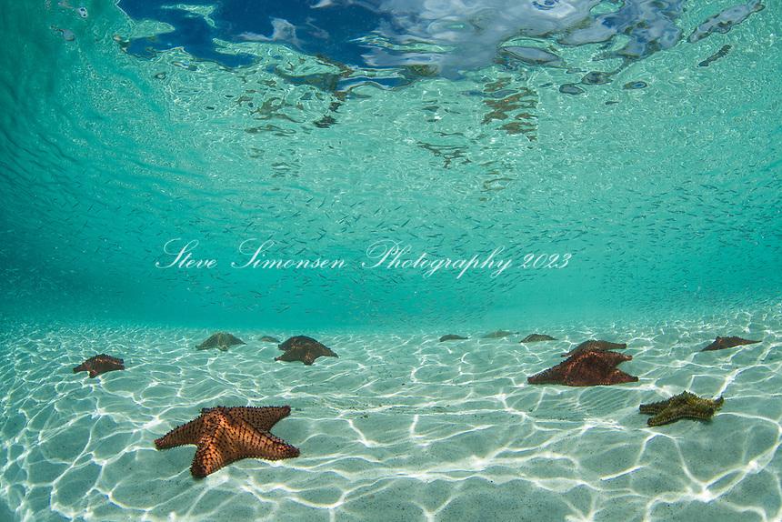 Pincushion Starfish<br /> St. Joh<br /> US Virgin Islands Pincushion Starfish<br /> Virgin Islands