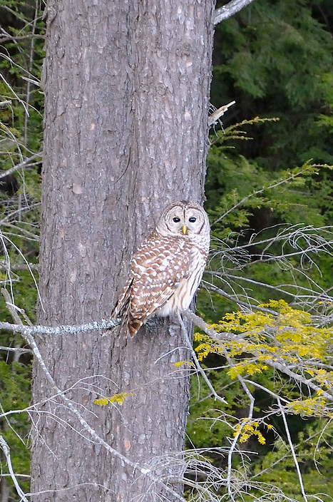One of our most common owls, this guy/gal was sitting conspicuously in the open.
