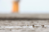A Spoon-billed Sandpiper, mid-way on its 5,000 km migration from northern Russia to southeast Asia forages beneath a wind turbine on Yellow Sea mudlfats near Rudong, China. October.