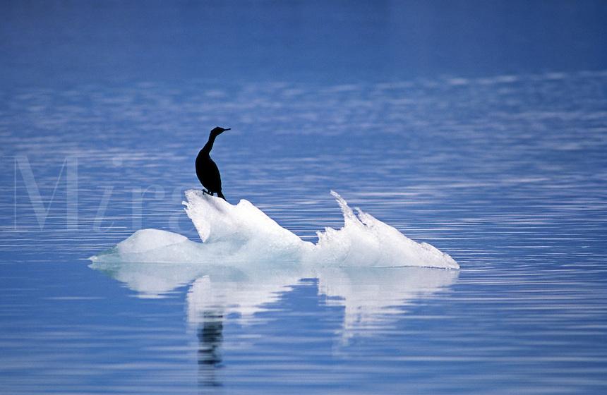 CORMORANT (Phalacrocoracidae) on ICE FLOE - GLACIER BAY NATIONAL PARK, ALASKA