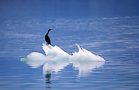 CORMORANT (Phalacrocoracidae) on ICE FLOE - GLACIER BAY NATIONAL PARK, ALASKA