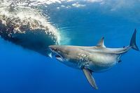 "great white shark, Carcharodon carcharias, named ""Haole Girl"", feeding on sperm whale carcass, Oahu, Hawaii, USA, Pacific Ocean"