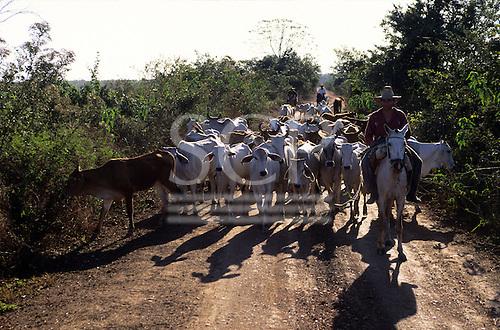 Amazon, Brazil. Gauchos on horse back herding zebu cattle on a cattle ranch.