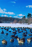 Canada Geese, roosting in Strawbridge Lake, Moorestown, New Jersey