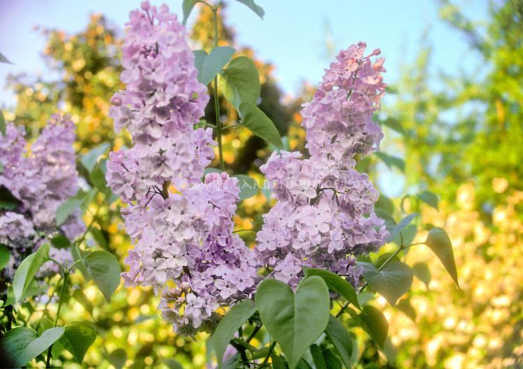 Syringa x hyacinthiflora 'Esther Staley' pink spring flowers