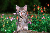 Cute blue-eyed gray tabby sitting on stump in blooming garden raises paw