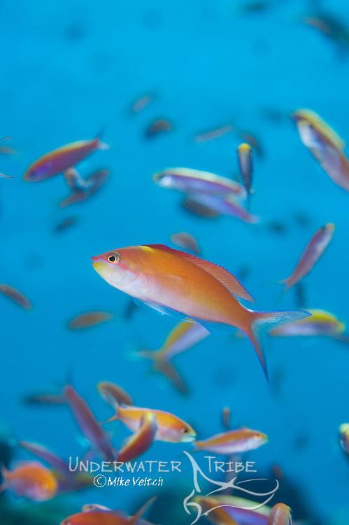 Schooling Anthias, Pseudanthias sp., Yap, Micronesia, Pacific Ocean