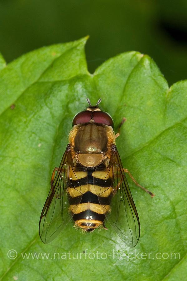 Garten-Schwebfliege, Gartenschwebfliege, Gemeine Schwebfliege, Männchen, Syrphus spec., hover fly